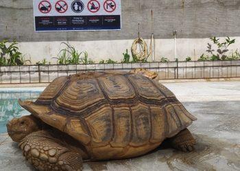 Kura-kura jenis Sulcata yang berasal dari Gurun. Kura-kura ini dibudidayakan di turtle farm Palembang. Foto: Alwi Alim/fornews.co