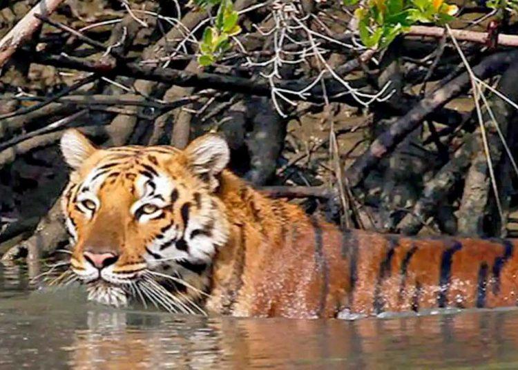 HARIMAU Benggala. (foto fornews.co/sunderbannationalpark)
