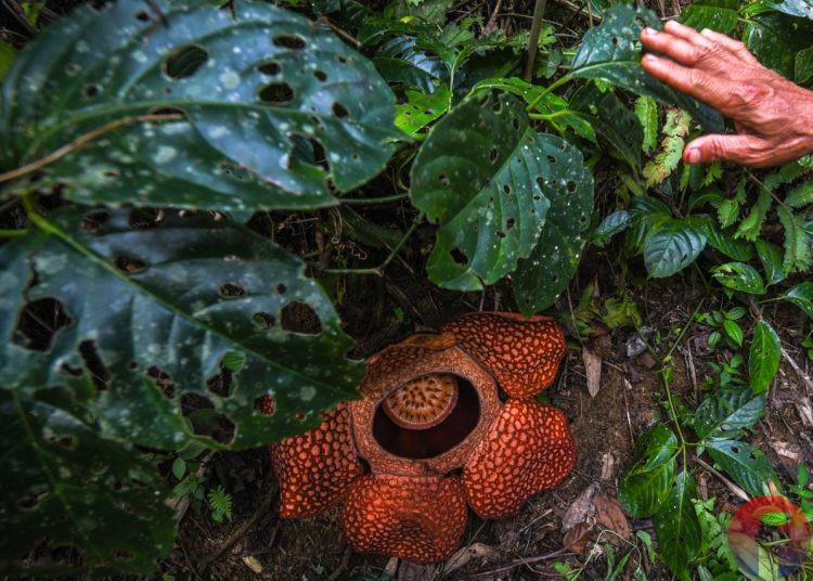 Bunga Rafflesia Arnoldi hasil penangkaran penangkaran Holidin, dari LPPLL yang berkembang sempurna, Jumat (27/8/2021). (fornews.co/mushaful imam)