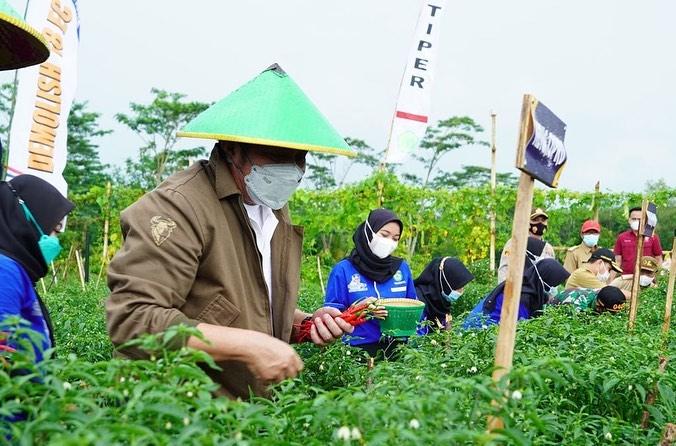 Gubernur Sumsel, Herman Deru, saat ikut panen Cabai Lado bersama petani di Desa Sukanegara, OKU Timur, Selasa (7/9/2021).(fornews.co/humas pemprov sumsel)